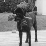 Havane (Boxer)