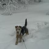 Hazel (Welsh Terrier)
