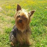 Keko - Yorkshire Terrier