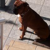 Darko (Boxer)