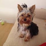África (Yorkshire Terrier)