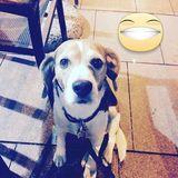 Karmelo (Beagle)