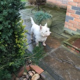 Scooby - West Highland White Terrier
