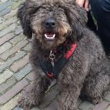 Monty (Spanischer Wasserhund)