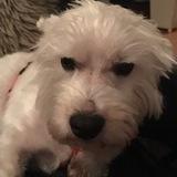 Snoopy (Westie)