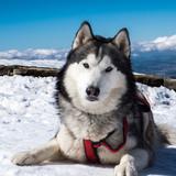 Loki (Husky Siberiano)