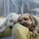 Toupie (Tibet Terrier)