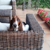 Daisy (Basset Hound)