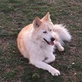Cai (Husky Siberiano)