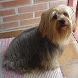 Melek (Terrier Sedoso Australiano)
