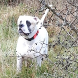 Eddie (American bulldog)