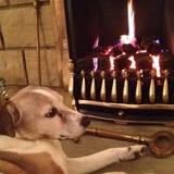 Dodger (Jack Russell Terrier)