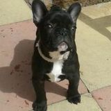 Poppy (French Bulldog)
