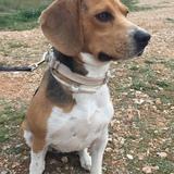 Duna  - Beagle