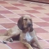 Cloé (Sabueso Español)