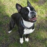 Frank (Boston Terrier)