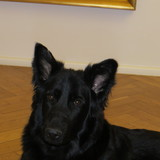 Hilde (Deutscher Schäferhund)