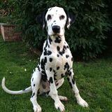 Buddy (Dalmatian)