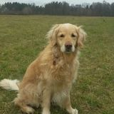 Buffy (Golden Retriever)