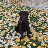 Cronos - Labrador Retriever