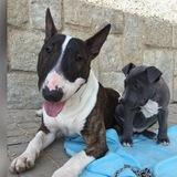 Teho (Bull Terrier)
