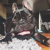 Betty (French Bulldog)