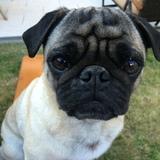 Hugo (Mops)