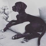 Linda (Deutsche Dogge)