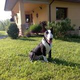Janko (Bull Terrier)