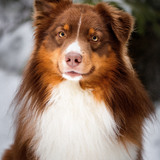 Findus  (Australian Shepherd)