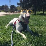 Rocky (Bull Terrier)