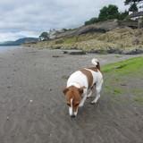Nico (Jack Russell Terrier)