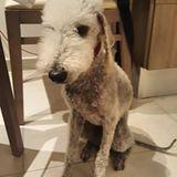 Bam Bam (Bedlington Terrier)