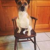 Woody (Jack Russell Terrier)