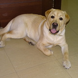 SAMBO - Labrador Retriever