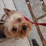 rati - Yorkshire Terrier