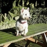 Daisy (West Highland White Terrier)