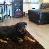 Bella (Rottweiler)