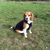 Ronja (Beagle)