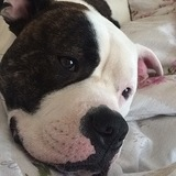 Zeus (American bulldog)