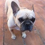 Peggy (Bulldog Francés)