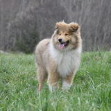 Kay (Rough Collie)