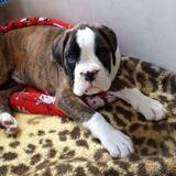 Leo (Boxer)