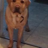 Sam  (Labrador Retriever)