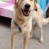 Lola (Golden Retriever)