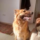 Linda (Perro de Pastor Garafiano)