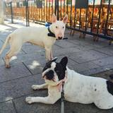 Nana Y Daira (Bull Terrier)