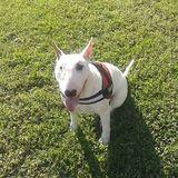 Pulga (Bull Terrier)