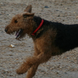 Stanley  (Airedale Terrier)