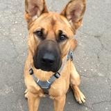 Scooby (Belgian Shepherd)